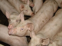 Conventionally raised pork
