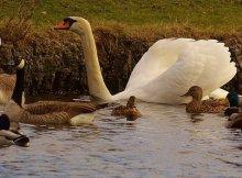 Ducks vs geese