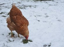 Tips for keeping your chickens warm in winter