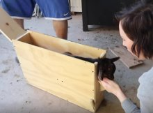 Raising goats - disbudding