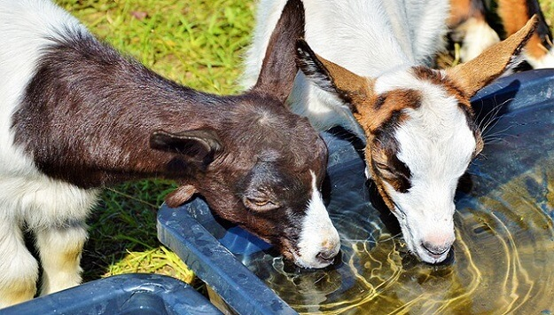 Keeping livestock cool in the summer