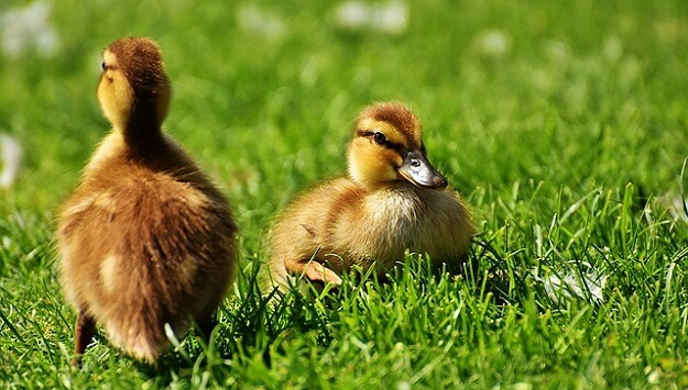 The best duck breeds for beginners