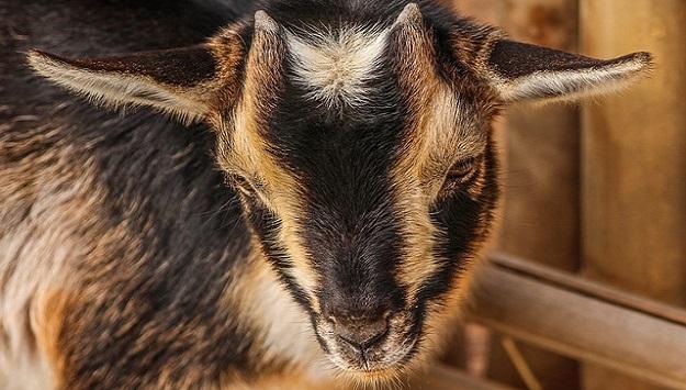 Raising Nigerian Dwarf goats