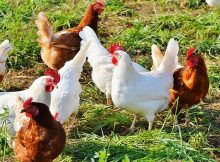 Tips for raising your own chickens