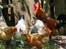 Chickens in the fall garden