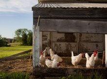Chickens deep litter system
