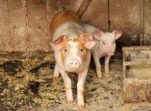 Choosing a pig breed