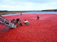 Enrivonmental impact of cranberries