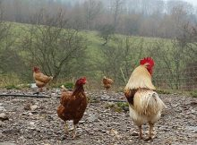 Reasons to raise backyard chickens