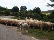 Lifestock guard dog breeds