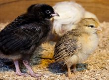 How to make a DIY chick brooder