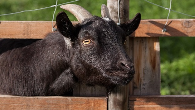 How much space do you need for a goat