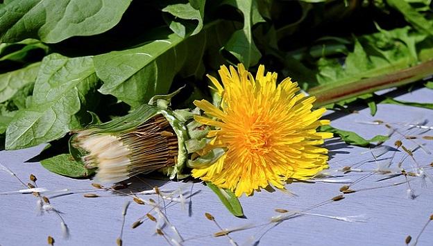 Medicinal uses for dandelion weed