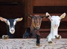 Backyard livestock for an urban homestead