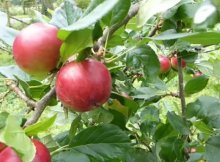 How to preserve & store apples