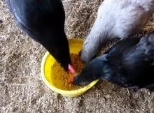 Benefits of fermented feed for chickens