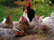 What to feed your chickens for better health