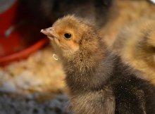 Mail-order chicks